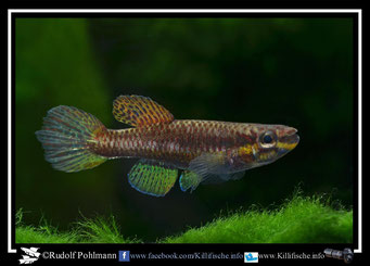 "10. Aphyosemion (Chromaphyosemion) splendopleure ""Afan Essokie II, ABC 05/48"" (Kamerun)"