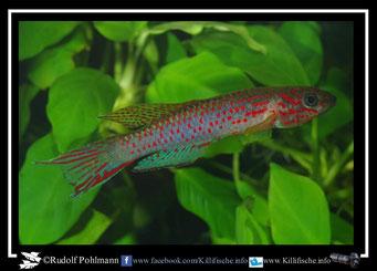 3. Aphyosemion (Chromaphyosemion) riggenbachi Yabassi KV03/28 (Kamerun)