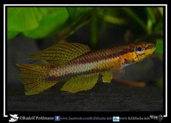 "7. Aphyosemion (Chromaphyosemion) melanogaster ""Nkolbonda KV 03/41""  (Kamerun)"
