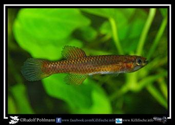 "1 Aphyosemion (Chromaphyosemion) loennbergii ""Makak-Ndokoma ""BLLMC 05/35"" female  (Kamerun)"