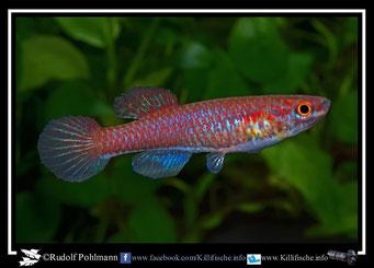 """9 Aphyosemion (Chromaphyosemion) bitaeniatum """" Yemoji - River"""" Nigeria -(female)"""