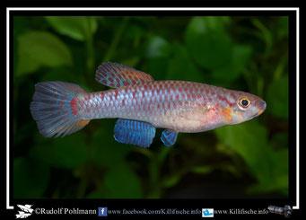 """8 Aphyosemion (Chromaphyosemion) bivittatum """"Funge ABC 05/12 """" female  (Gruppe2) Kamerun"""