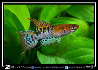 """2 Aphyosemion (Chromaphyosemion) bivittatum """"Ikang NA 04/3""""  (Gruppe1) Nigeria"""