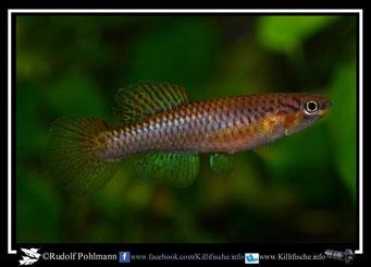 13. Aphyosemion (Chromaphyosemion) omega CMM 7 female (Kamerun)