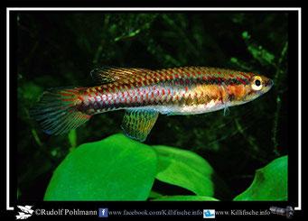 "2 Aphyosemion (Chromaphyosemion) loennbergii ""Song Bibai C 89/21"" female (Kamerun)"