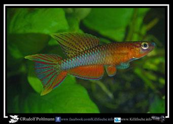 1 Aphyosemion (Chromaphyosemion) pamaense Bella ABK 07/163 (Kamerun)