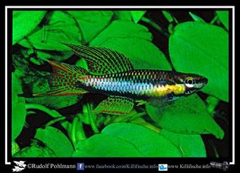 """7  Aphyosemion (Chromaphyosemion) melanogaster """"KEK 98/6"""" (Kamerun)"""