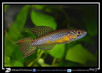 "16. Aphyosemion (Chromaphyosemion) punctulatum ""Bibabimwoto  CMM 22"" (Kamerun)"