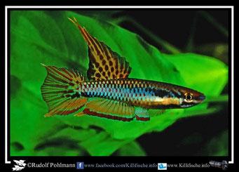 """8 Aphyosemion (Chromaphyosemion) bitaeniatum """" Ibeju – Creek"""" Nigeria"""