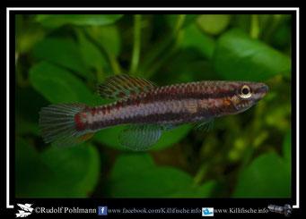 """7 Aphyosemion (Chromaphyosemion) bivittatum """"Funge"""" female  (Gruppe2) Kamerun"""
