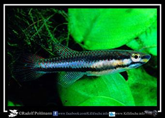 """19. Aphyosemion (Chromaphyosemion) volcanum  """"Bamukong, Ombe - River System""""  female (Kamerun)"""