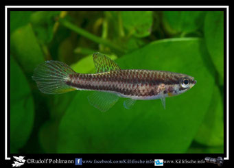 """8. Aphyosemion (Chromaphyosemion) poliaki """"Bolifamba CMM 41"""" female (Kamerun)"""