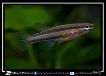 """11. Aphyosemion (Chromaphyosemion) volcanum  """"Ngenge River ADK 11/462 """" female (Kamerun)"""
