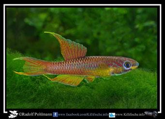 "2 Aphyosemion (Chromaphyosemion)  splendopleure ""Bimbia""  (Kamerun)"