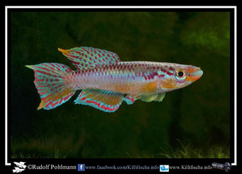 "7. Aphyosemion (Chromaphyosemion) koungueense sp. aff. ""Route de Dehane ADK 09/296"" (Kamerun)"