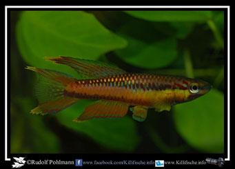 12 Aphyosemion (Chromaphyosemion) omega Kopongo II C 89/36  (Kamerun)