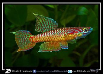 """17. Aphyosemion (Chromaphyosemion) punctulatum """"Mabiogo ABL 08/215"""" (Kamerun)"""