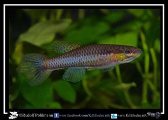 "5. Aphyosemion (Chromaphyosemion) koungueense ""Bonepoupa KV 03/17"" female (Kamerun)"