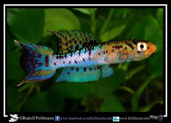 """1 Aphyosemion (Chromaphyosemion) bivittatum """"Kwa River Falls Plantation""""  (Gruppe1) Ngeria"""