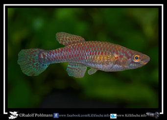 "3 Aphyosemion (Chromaphyosemion) bivittatum ""Biafra""  female (Gruppe: 1) Nigeria / Kamerun"