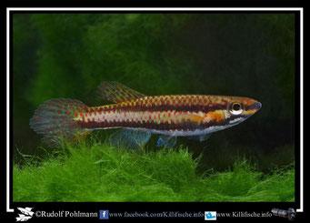 """10 Aphyosemion (Chromaphyosemion) melanogaster """"Pongo II AP 13/531"""" female (Kamerun)"""