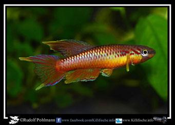 14. Aphyosemion (Chromaphyosemion) omega ADK 09/300 (Kamerun)