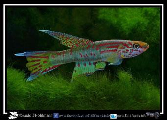 """12. Aphyosemion (Chromaphyosemion) riggenbachi """"ADK 09/299"""" (Kamerun)"""