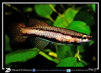 "10 Aphyosemion (Chromaphyosemion) kouamense ""Engong Kouamé LEC 93/24"" female (Gabun)"