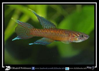 10. Aphyosemion (Chromaphyosemion) poliaki Bowanda KV 03/18 (Kamerun)