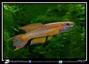 """10 Aphyosemion (Chromaphyosemion) loennbergii """"Bonguen ADK 11/466"""" + ABC 05/62 (Kamerun)"""