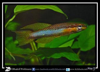 "13. Aphyosemion (Chromaphyosemion) melanogaster ""Lobe  JVC 05""  (Kamerun)"