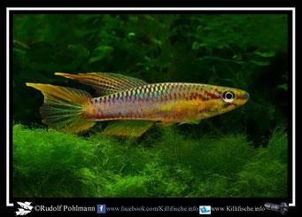 """13. Aphyosemion (Chromaphyosemion) volcanum  """"Owe""""  (Kamerun)"""