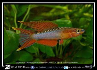 1 Aphyosemion (Chromaphyosemion) pamaense Pama ADK 10/323 (Kamerun)