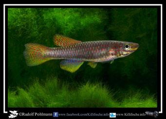 5. Aphyosemion (Chromaphyosemion) riggenbachi Ndokndak ADL 13/49 female (Kamerun)