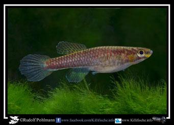 "2. Aphyosemion (Chromaphyosemion)  volcanum ""Boko- River KV 03/22 "" female  (Kamerun)"