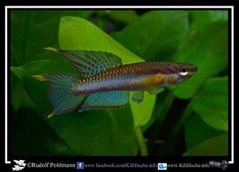 """8. Aphyosemion (Chromaphyosemion) poliaki """"Bolifamba"""" (Kamerun)"""