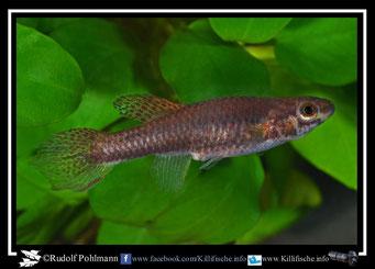 1  Aphyosemion (Chromaphyosemion) malumbresi GEMLCG 07/49 female (Äquatorialguinea)