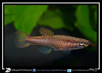 "11. Aphyosemion (Chromaphyosemion) splendopleure ""Mamelles KV 03/39"" female (Kamerun)"