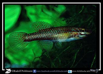 """5. Aphyosemion (Chromaphyosemion) volcanum """"Kumba GPE 90/3"""" female (Kamerun)"""