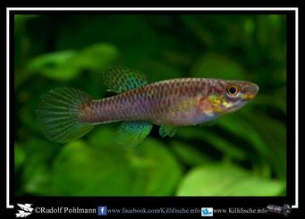 """18. Aphyosemion (Chromaphyosemion) volcanum  """"Penda- Mboko  """" female  (Kamerun)"""