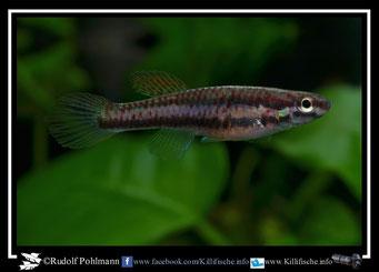 6 Aphyosemion (Chromaphyosemion) malumbresi Ndyiacom 2 GEMHS 00/32 female  / Terra typica  (Äquatorialguinea)