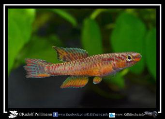 "11. Aphyosemion (Chromaphyosemion) splendopleure ""Mamelles KV 03/39"" (Kamerun)"