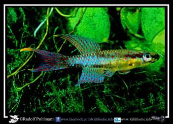 "4 Aphyosemion (Chromaphyosemion) loennbergii "" KEK 98/12"" (Kamerun)"