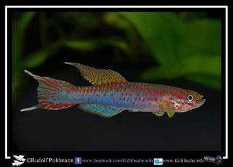 8. Aphyosemion (Chromaphyosemion) riggenbachi Ndokama KV03/25 (Kamerun)