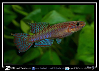 "6.  Aphyosemion (Chromaphyosemion) splendopleure ""100 m N riv. Boutchilika ADK 11/453"" (Kamerun)"