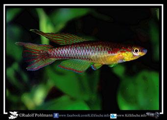 """5. Aphyosemion (Chromaphyosemion) koungueense """"Bonepoupa CLL 03/18""""  (Kamerun)"""