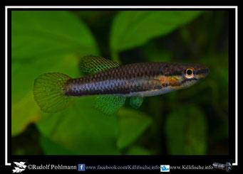 """20. Aphyosemion (Chromaphyosemion) volcanum  """"Moliwe C 03/1 """"  female (Kamerun)"""