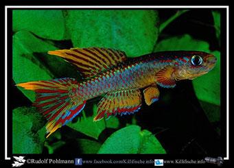 "2 Aphyosemion (Chromaphyosemion) loennbergii ""Song Bibai C 89/21"" (Kamerun)"