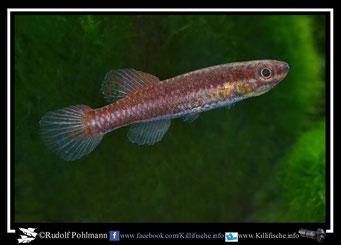 "11 Aphyosemion (Chromaphyosemion) bitaeniatum ""Ijaguna- River"" Nigeria -(female)"