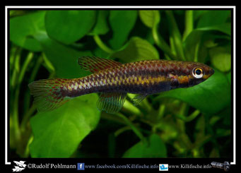 4  Aphyosemion (Chromaphyosemion) malumbresi Nlosoc GEMHS 00/31 female (Äquatorialguinea)